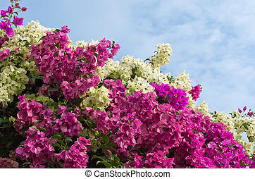Bougainvillea bushes and the sky in Bright day