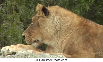 lion 03 - Close up of a lion