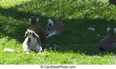 lemur 01 - Group of lemurs