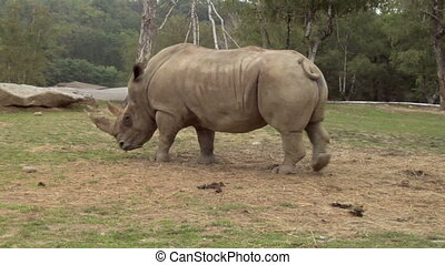 rhinoceros 02 - A rhino grazing on some grass