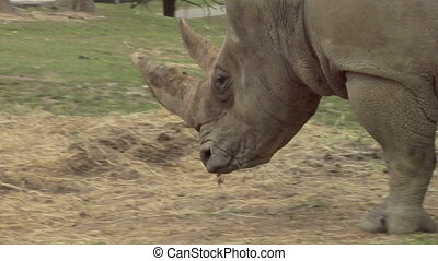 rhinoceros 03 - Close up of a rhino