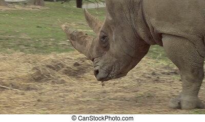 rhinoceros 03 - Close up of a rhino