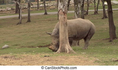 rhinoceros 04 - A rhino near a tree
