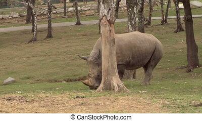 rhinoceros 04