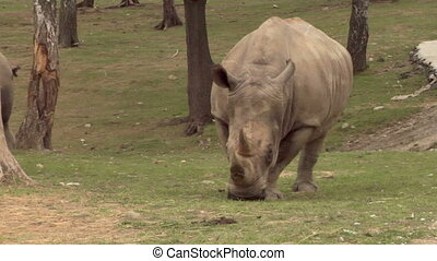 rhinoceros 05 - A rhino near a tree