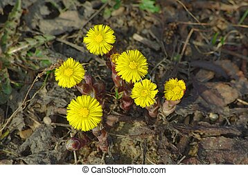 Coltsfoot flowers in the spring growing thru old foliage