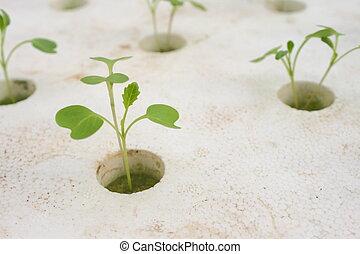 hydroponique, légume