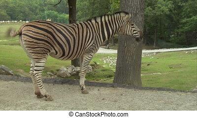 zebra 02 - A zebra