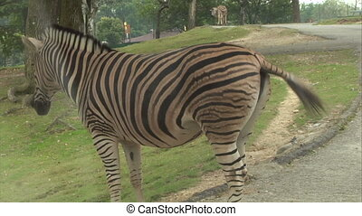 zebra 01 - A zebra