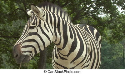 zebra 04 - Close up of a zebra