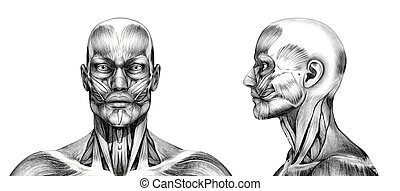 Muscles of the Head - Pencil Drawing Style - Muscles of the...