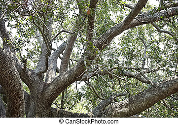 Majestic Old Live Oak Tree - View looking up in the...