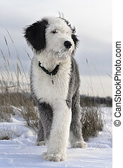 Bobtail puppy in the open field - Puppy of Old English...