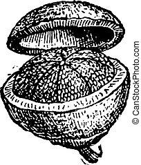 Pyxis (fruit) vintage engraving