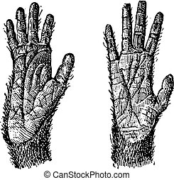 Two hands of Quadrumana primates vintage engraving - Old...