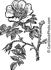 Rose of Provins, vintage engraving.