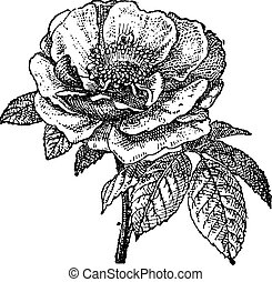 Rose of Provins, vintage engraving - Rose of Provins,...