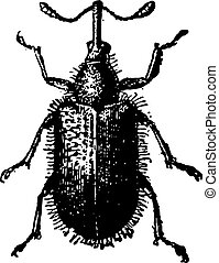 Rhynchites Beetle isolated on white, vintage engraving.