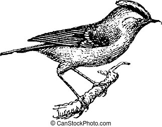 Wren perched on branch, vintage engraving. - Wren perched on...