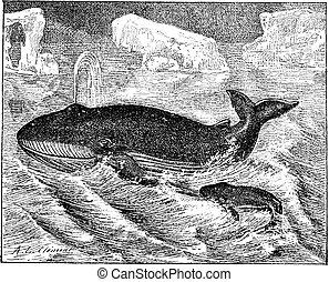Whale in ocean, vintage engraving. - Whale in ocean, vintage...