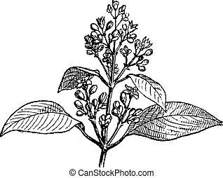 Sandalwood leaves and buds, vintage engraving. - Sandalwood...