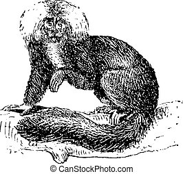 Sakis or Saki monkey, vintage engraving.