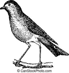 Robin perched on branch, vintage engraving.