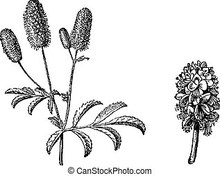 Burnet twig, Burnet flower, vintage engraving. - Burnet...