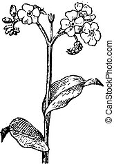 Forget-me-not or Myosotis vintage engraving - Old engraved...