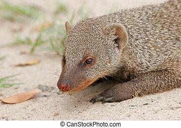 Banded mongoose (Mungos mungo), Hwange National Park,...