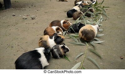 Guinea Pigs Eating Eucalyptus - Guinea pigs eating...