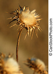 Milk thistle silybum marianum - milk thistle silybum...