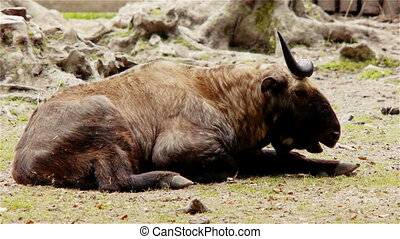 Takin Resting - Adult Takin laying down resting and...