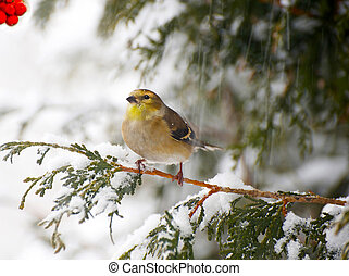 American goldfinch in a snowstorm - Nice image of a brightly...