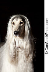 afghan dog portrait on black.