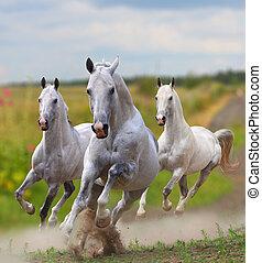 white horses in dust - white stallions in dust running