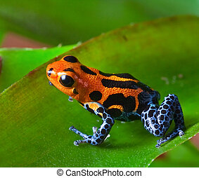 red poison dart frog sitting on green leaf in amazon rain...