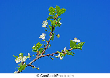 Cherry blossom against blue sky - Branch of cherry blossom...