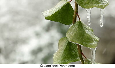Rain with Snow - Wet snow falls on the leaf