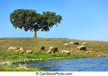 sheeps in the countryside of Portugal