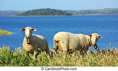 Sheeps  graze in the pasture, Portugal