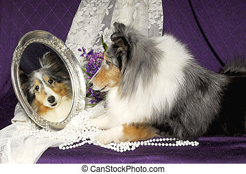 Sheltie dog looking in a mirror - Blue merle sheltie looking...
