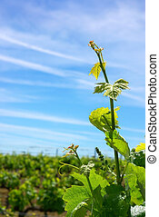 Grapevine in spring and blue sky.