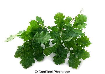 Oak leaves - Branch of healthy green oak leaves on white...