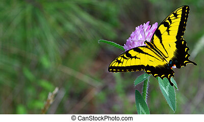 A purple clover flower with an Eastern Tiger Swallowtail...
