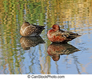 Cinnamon Teal pair - Cinnamon Teal Anas cyanoptera male and...