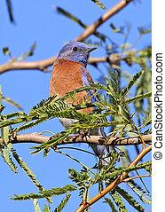 Western Bluebird in Mesquite Tree - Western Bluebird Sialia...
