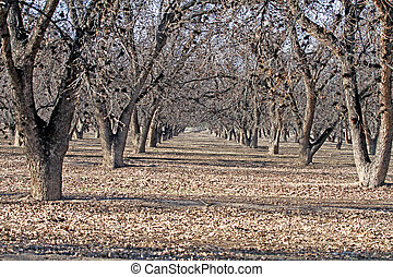 Pecan trees in winter - Pecan tree farm in winter with nuts...