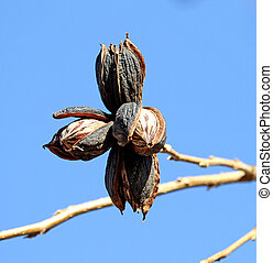 Pecan Nuts Ready for Harvest 4 - Ripe Pecan nuts ready to be...
