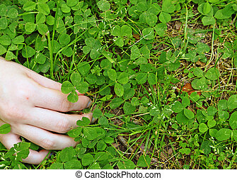 A young girls hand picking a four leaf clover she found out...